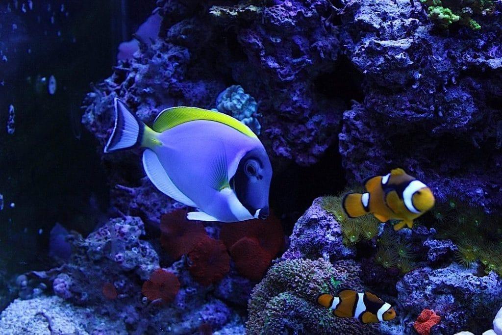 habitat del pez cirujano