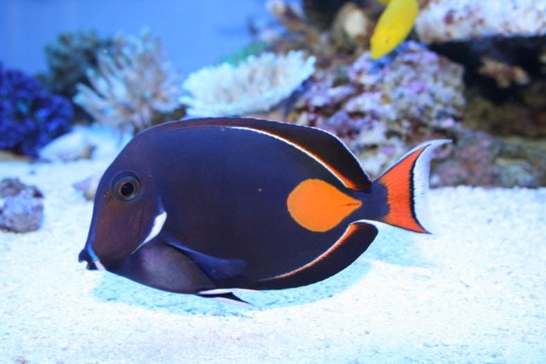 especies de pez cirujano