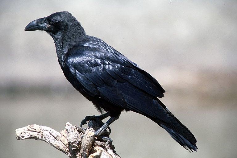 ¿Qué es un cuervo?