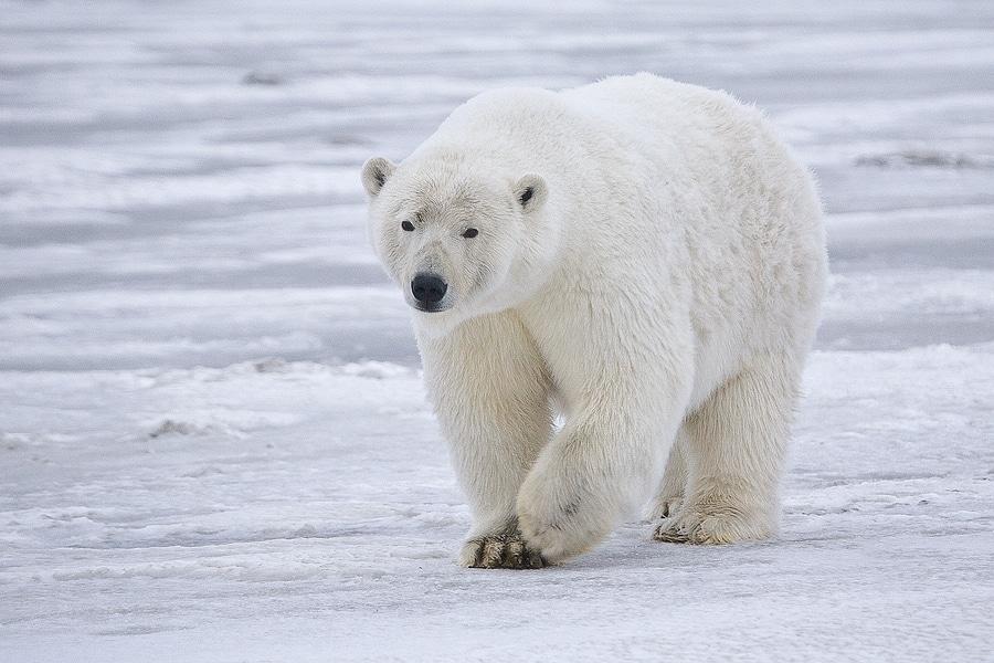 oso polar endemico