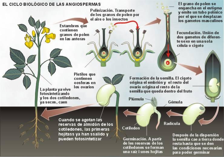 ciclo biologico del melon