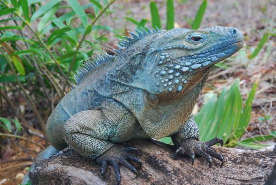 caiman iguana