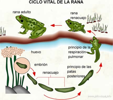 ejemplo de ciclo bilogico