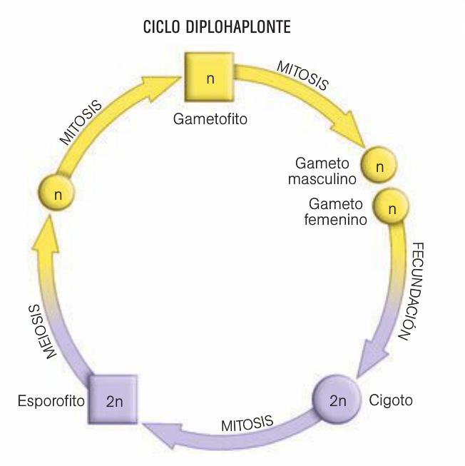 ciclo diplohaplonte