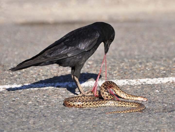 qué comen los cuervos