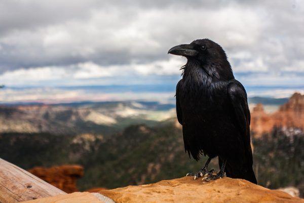 dónde viven los cuervos