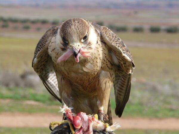 alimentos del halcón