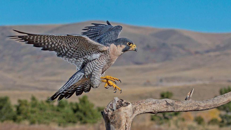 hábitat del halcón