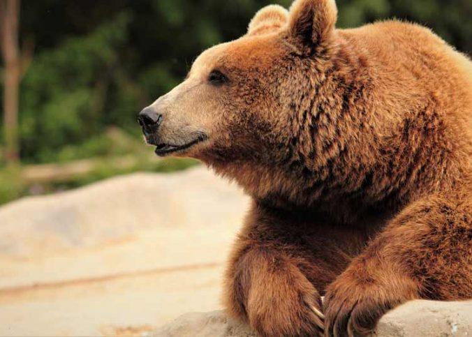 que es el oso