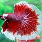 qué es el pez betta