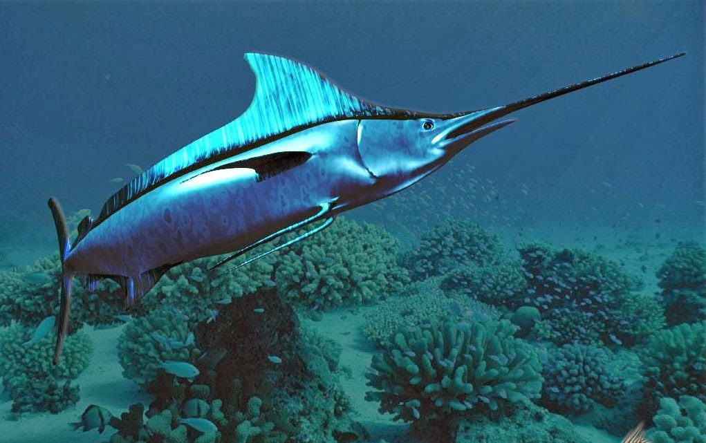 pez espada caracter sticas curiosidades habitat y