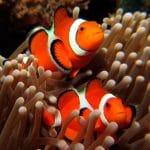 qué es el pez payaso