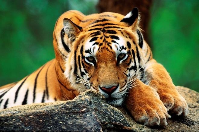 qué es el tigre