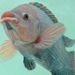 qué es un pez tilapia