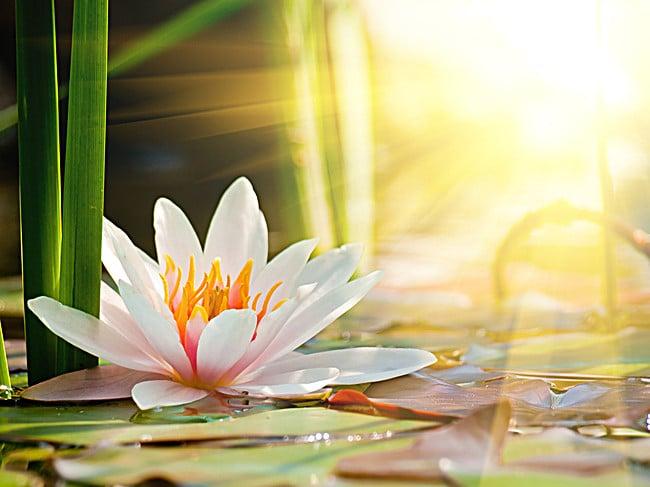 flor de loto y luz solar