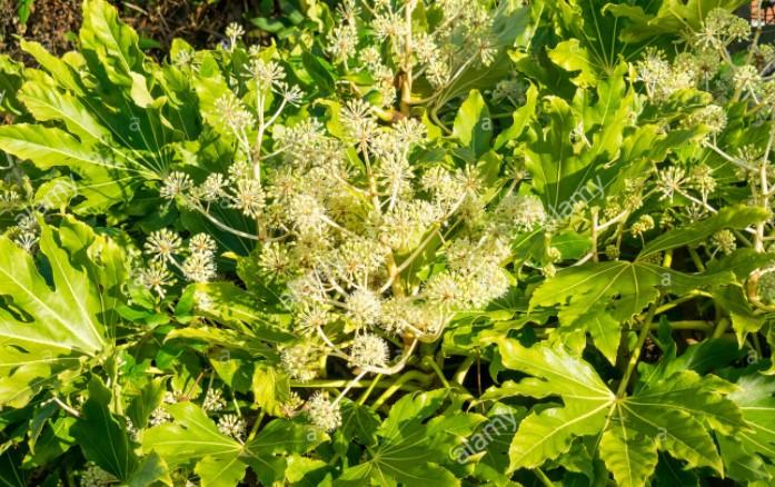 Floración de la Aralia o Fatsia Japónica