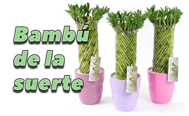 Bamb de la suerte caracteristicas cuidados y riego - Tipos de bambu ...