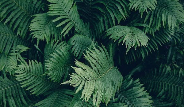 4a8a1f1b4a Los helechos naturalmente crecen en zonas húmedas y umbrosas. Es importante  mencionar que hay especies que se pueden adaptar a un amplio rango de  hábitats ...