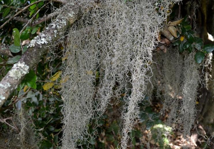 planta bromelia Tillandsia usneoides