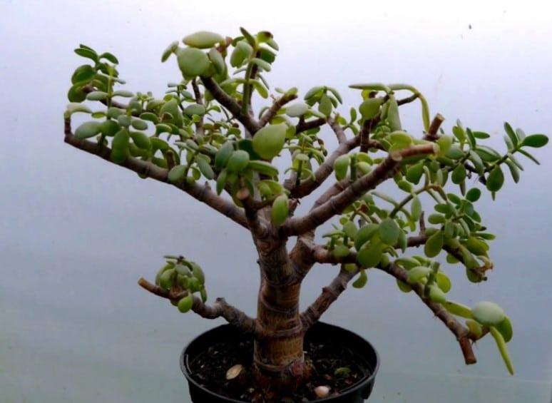 cual es la planta arbol de la vida