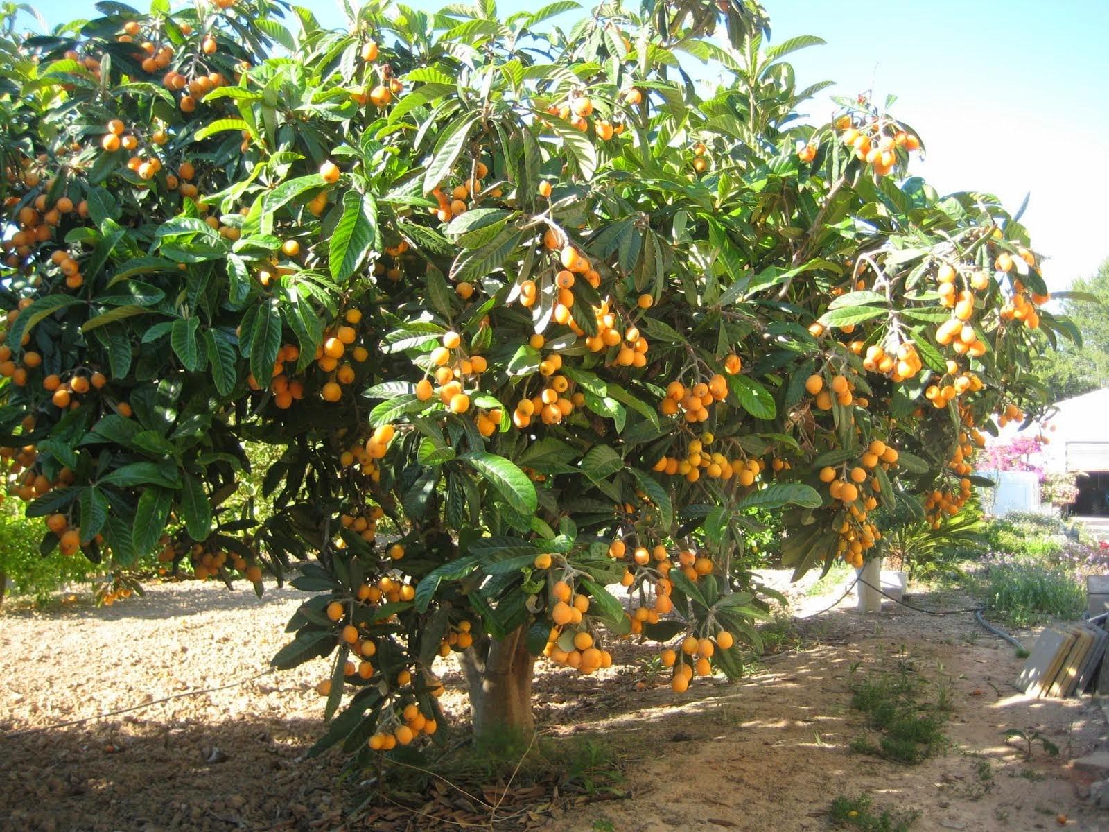 N spero rbol caracteristicas cuidados cultivo y riego for Los arboles y sus caracteristicas