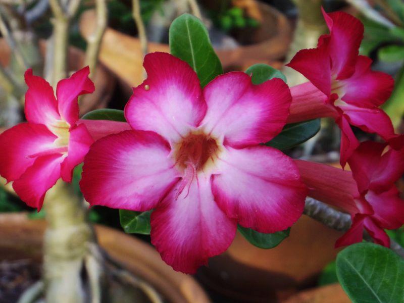 rosa desierto