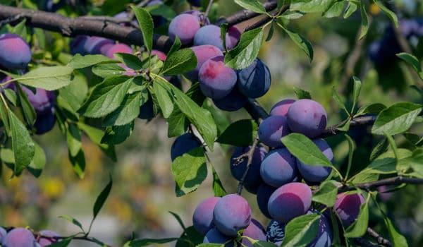 Rboles frutales 15 variedades caracteristicas y cuidados for Arboles frutales de hoja caduca