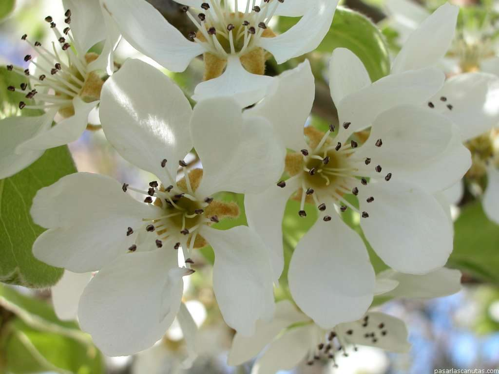 flor del peral