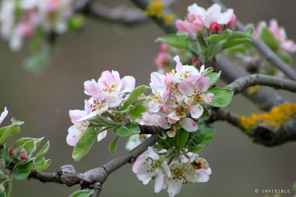 manzano florecido