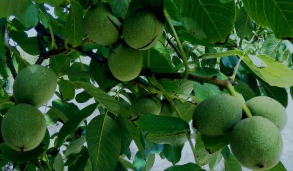 Rboles frutales 15 variedades caracteristicas y cuidados for Tipos de arboles y sus caracteristicas
