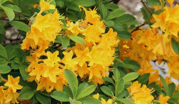 Azalea Planta Caracteristicas Cuidados Cultivo Y Riego
