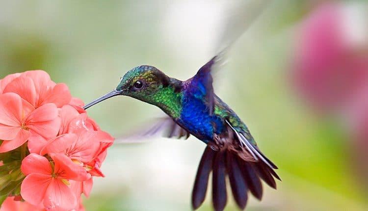 COLIBR ave Caractersticas especies hbitat y