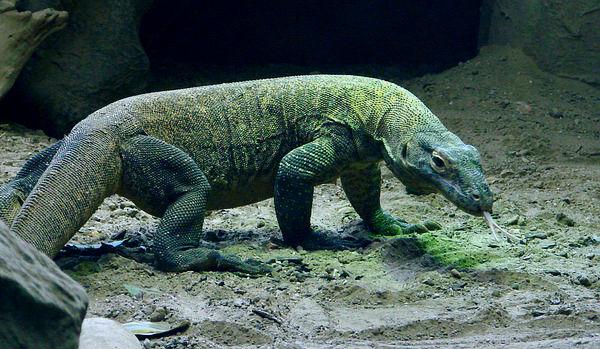Dragon De Komodo Caracteristicas Hábitat Y Alimentación