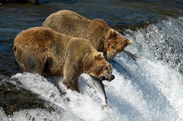 que come el oso