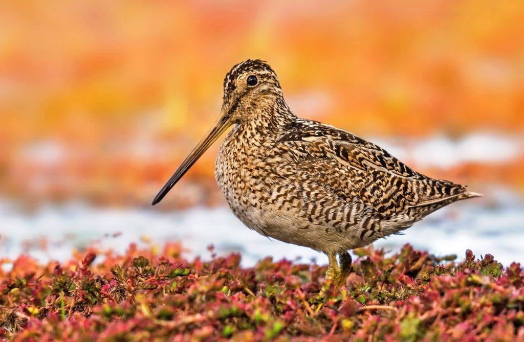 migracion aves