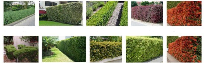 arbustos para cercos