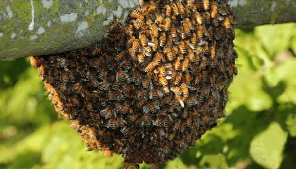 abejas africanas