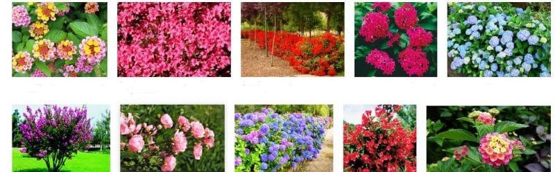 arbustos de flores