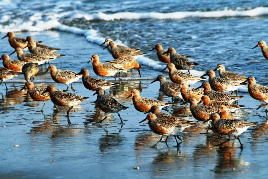 nombres de aves migratorias
