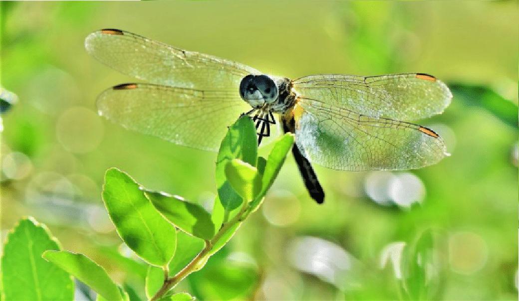 insectos odonatos