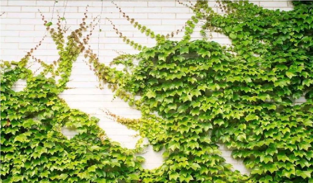 plantas enredaderas de crecimiento rápido