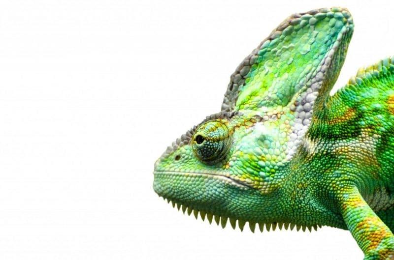 camaleon insectivoro