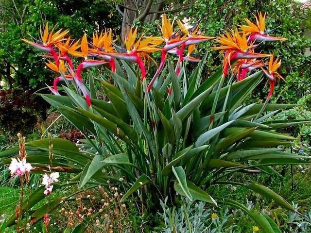 Ave del paraíso (Planta y Flor)