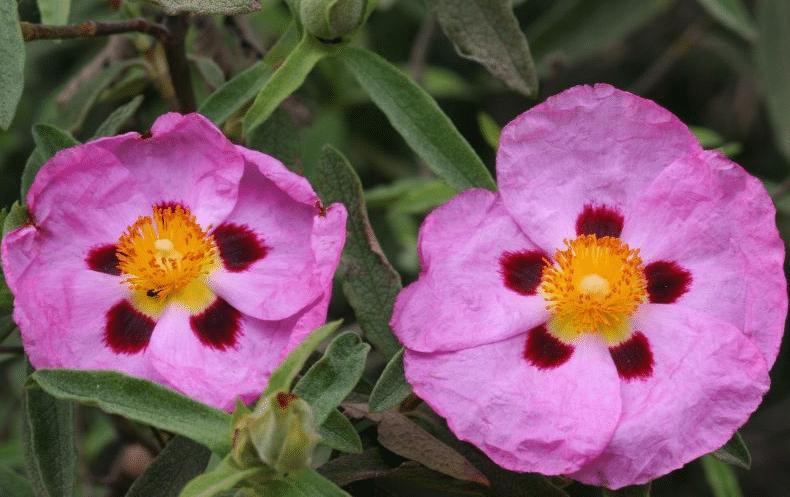 Planta jara