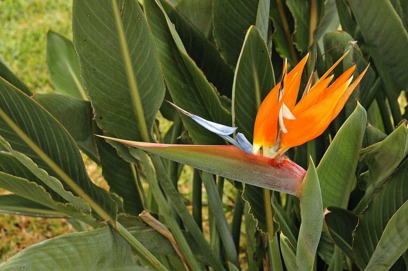 ave del paraíso - flor