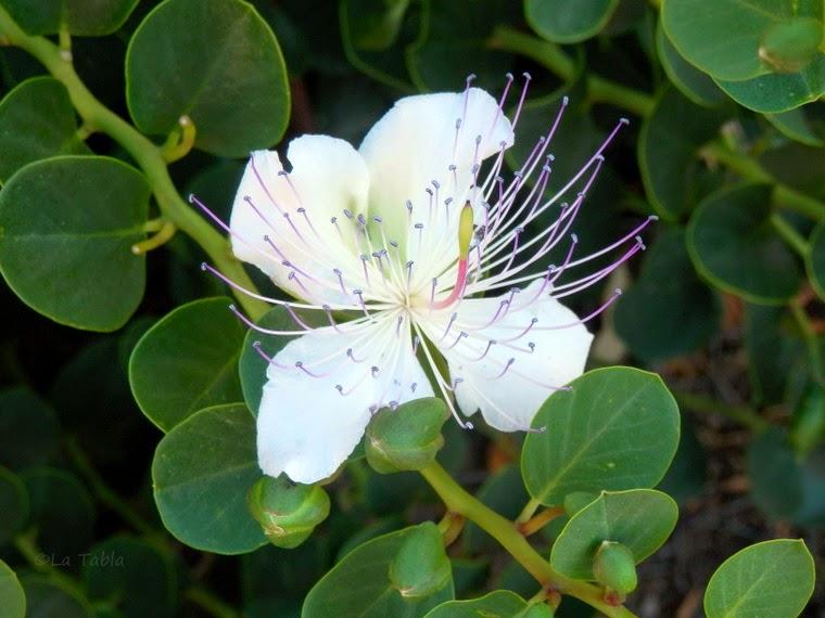 Alcaparra flor