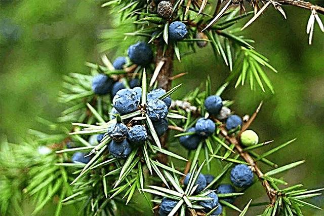 Enebro común - fruto