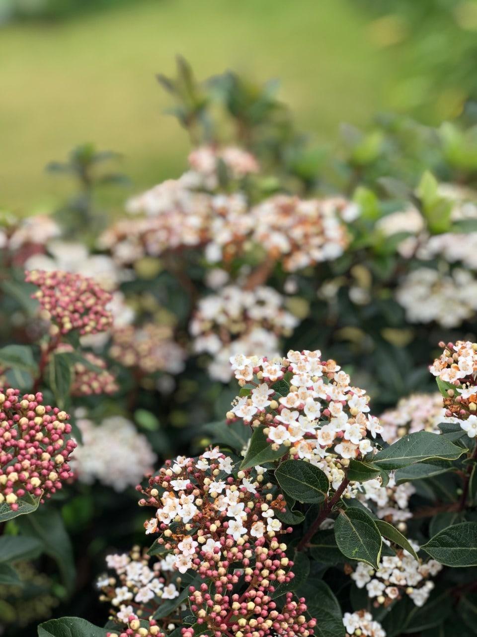 Laurentino - flor y fruto